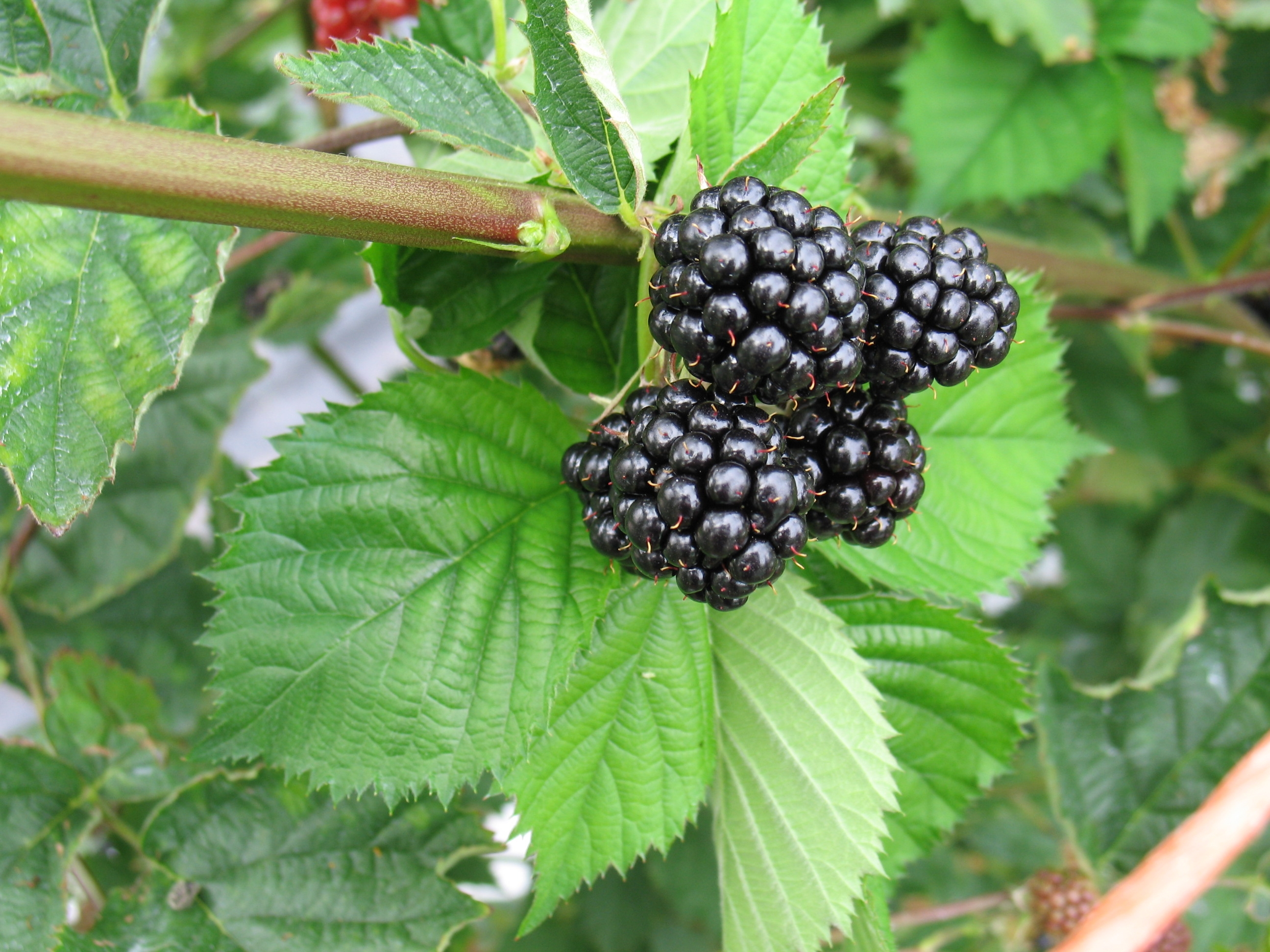 Loch Tay blackberry