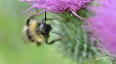 Bee on a thistle