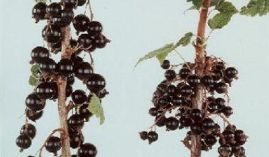 Blackcurrant breeding