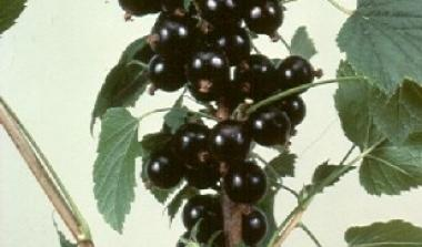 Hutton limited blackcurrant  breeding